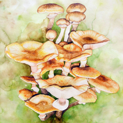Watercolor-painting-Golden-Pholiota-mushroom